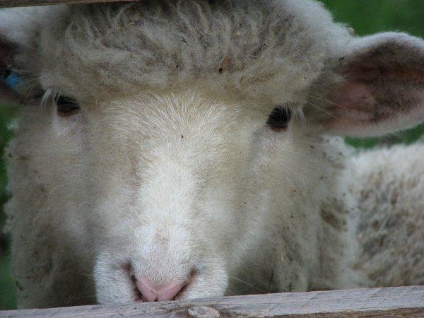 gwen the sheep