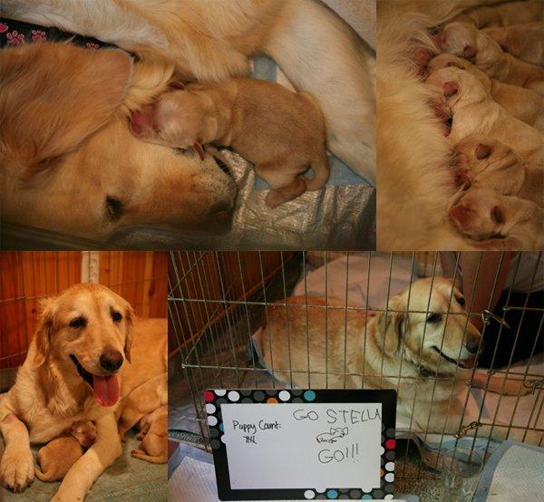 stella puppy collage